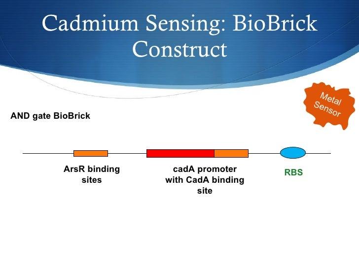 Cadmium Sensing: BioBrick Construct AND gate BioBrick ArsR binding sites cadA promoter with CadA binding site RBS Metal  S...