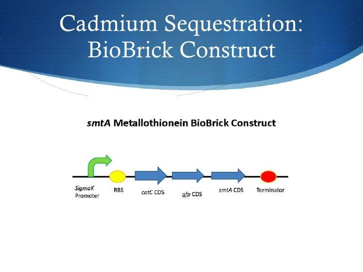 Cadmium Sequestration: BioBrick Construct