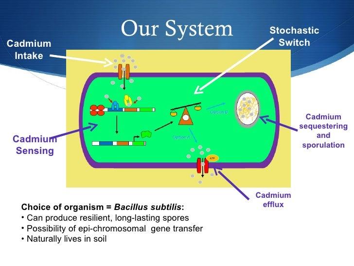 Our System <ul><li>Choice of organism =  Bacillus subtilis : </li></ul><ul><li>Can produce resilient, long-lasting spores ...
