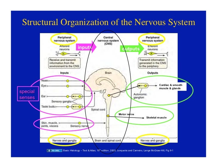 092208 histology of the peripheral nervous system 5 structural organization of the nervous system ccuart Image collections