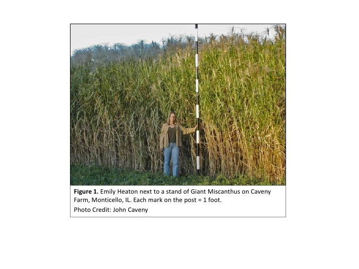 Figure 1. Emily Heaton next to a stand of Giant Miscanthus on Caveny Farm, Monticello, IL. Each mark on the post = 1 foot....