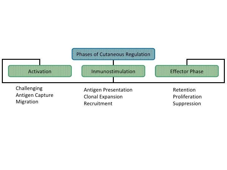 Phases of Cutaneous Regulation Activation Inmunostimulation Effector Phase Challenging Antigen Capture Migration Antigen P...