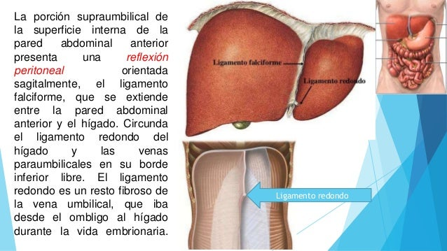 Superficie interna de la pared anterolateral del abdomen