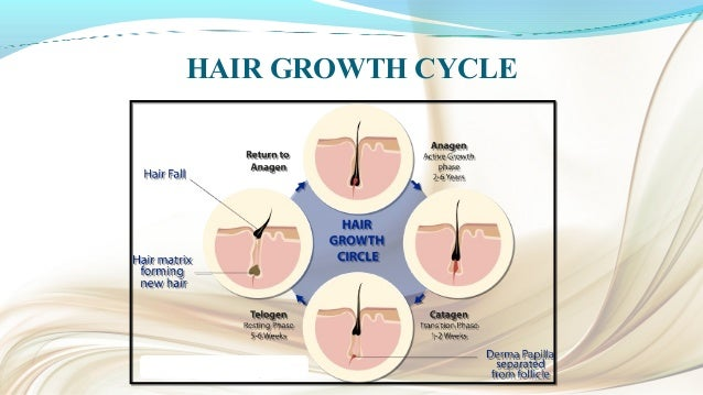ANAGEN (GROWING PHASE) Lasts for about 1000 days. Follicular cells grow, divide and become keratinized. Darkly pigmente...