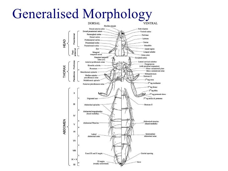 Louse Taxonomy Anatomy And Identification Workshop