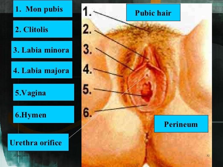 1. Mon pubis     Pubic hair  2. Clitolis 3. Labia minora 4. Labia majora  5.Vagina  6.Hymen                          Perin...