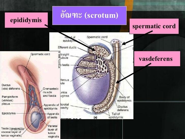 epididymis    อัณฑะ (scrotum)                                spermatic cord                                  vasdeferens27...
