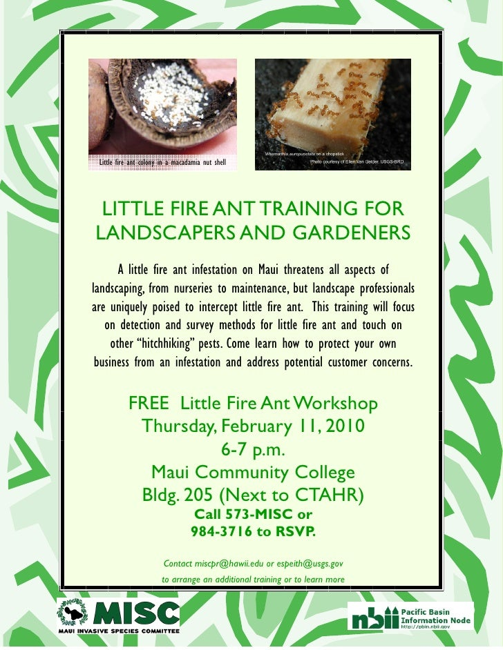 Little fire ant colony in a macadamia nut shell      LITTLE FIRE ANT TRAINING FOR LANDSCAPERS AND GARDENERS        A littl...