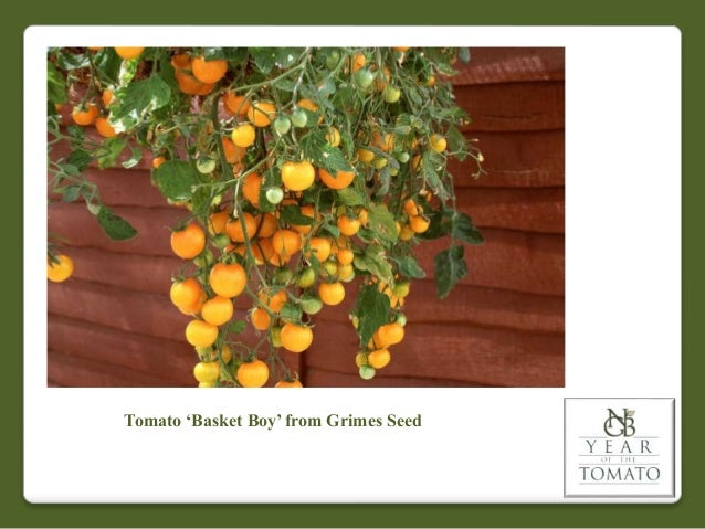 Tomato 'Basket Boy' from Grimes Seed