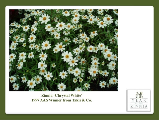 Zinnia 'Chrystal White' 1997 AAS Winner from Takii & Co.