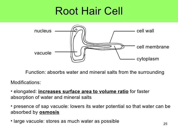 Root Hair Cell Hairs 25