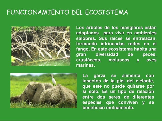 FUNCIONAMIENTO DEL ECOSISTEMA Los árboles de los manglares están adaptados para vivir en ambientes salobres. Sus raíces se...