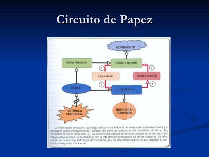 Circuito De Papez : Limbico