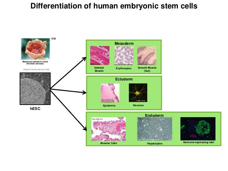 Differentiation of human embryonic stem cells                                                     Mesoderm                ...