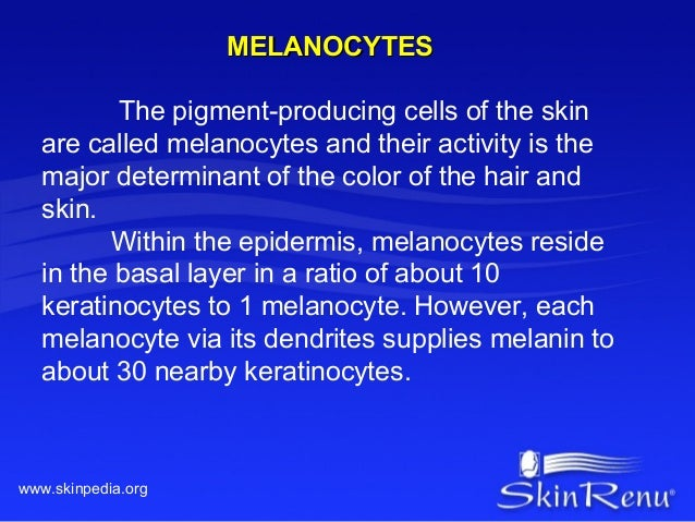 MELANOCYTES          The pigment-producing cells of the skin   are called melanocytes and their activity is the   major de...