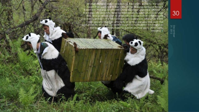 Workers wear panda costumes as they carry a box to transport       Giant Pandas back to the wild, at the Wolong National N...