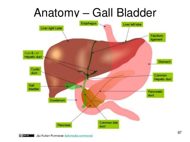 Anatomy right upper quadrant