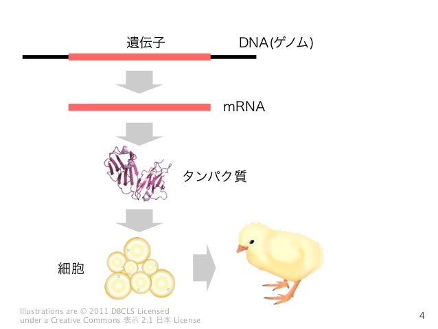 DNA(ゲノム) mRNA 遺伝子 タンパク質 細胞 Illustrations are © 2011 DBCLS Licensed under a Creative Commons 表示 2.1 日本 License 4