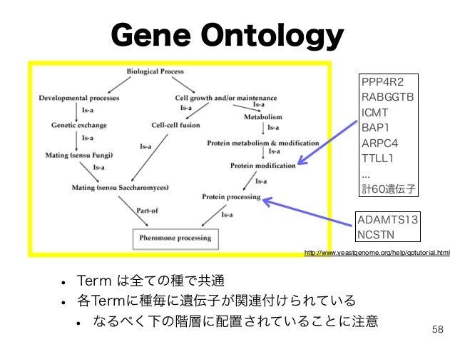 Gene Ontology • Term は全ての種で共通 • 各Termに種毎に遺伝子が関連付けられている • なるべく下の階層に配置されていることに注意 http://www.yeastgenome.org/help/gotutorial....