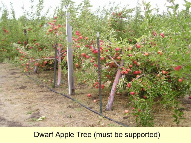 how to grow an apple tree in texas