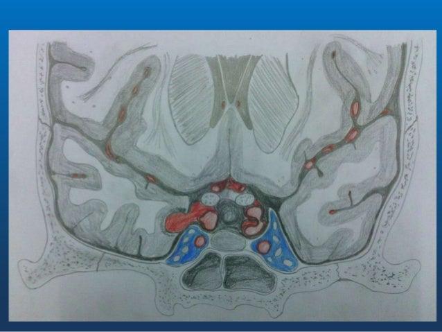 Vascularizația • Artere hipofizare • Artere hipotalamice