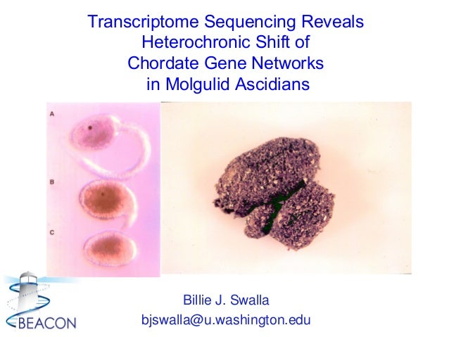 Billie J. Swalla bjswalla@u.washington.edu Transcriptome Sequencing Reveals Heterochronic Shift of Chordate Gene Networks ...