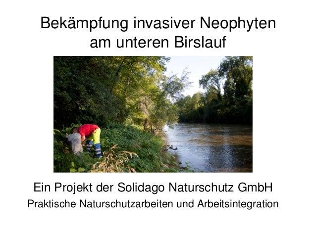 Bekämpfung invasiver Neophyten am unteren Birslauf Ein Projekt der Solidago Naturschutz GmbH Praktische Naturschutzarbeite...