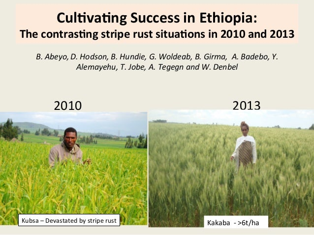 Cul$va$ng  Success  in  Ethiopia:   The  contras$ng  stripe  rust  situa$ons  in  2010  and  2013...