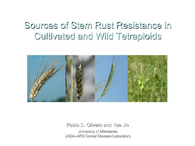 Sources of Stem Rust Resistance in Cultivated and Wild Tetraploids Pablo D. Olivera and Yue Jin University of Minnesota US...