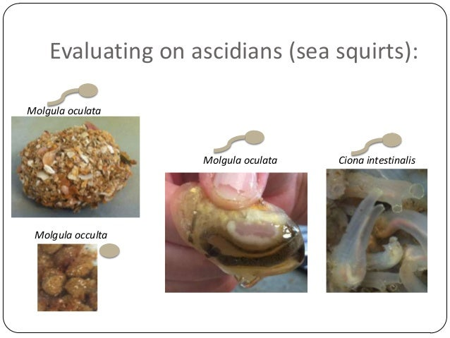 Evaluating on ascidians (sea squirts): Molgula oculata  Molgula oculata  Molgula occulta  Ciona intestinalis