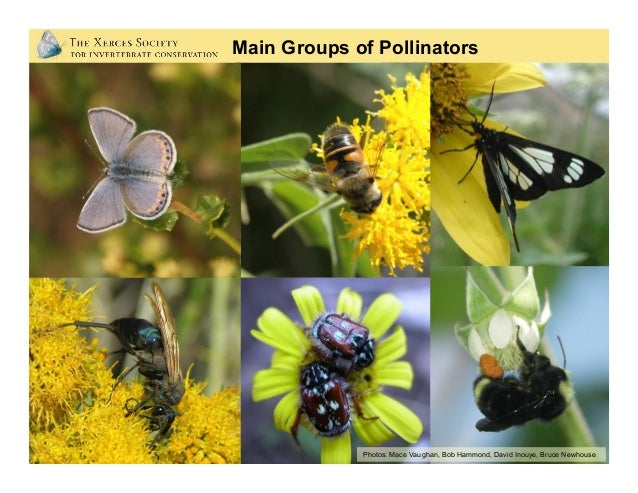 Bees: The Most Important Pollinators Photo: Rollin Coville •Collect and transport pollen •Forage in area around nest •F...