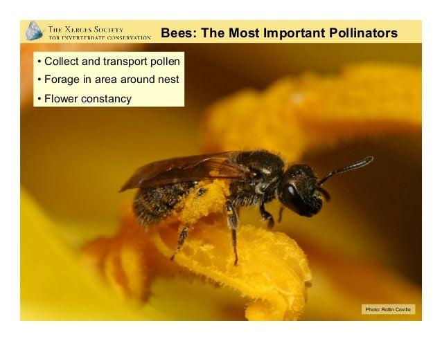 Photo: Rollin Coville Non-Native Bees: European Honey Bees
