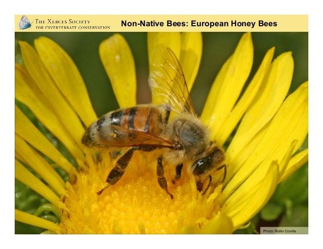Photo: Robert W. Matthews, University of Georgia; Bugwood.org Honey Bees Are Not Typical Bees