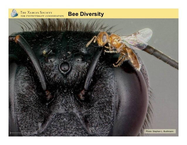 Native Bee Diversity: Bumble Bees Photos: Eric Mader(Xerces Society), Steve Javorek (AgCanada)