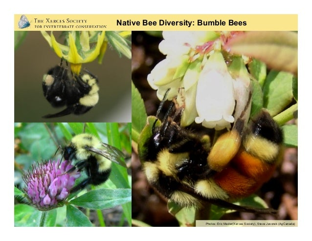 Photo: Rollin Coville Native Bee Diversity: Leaf-cutter Bees