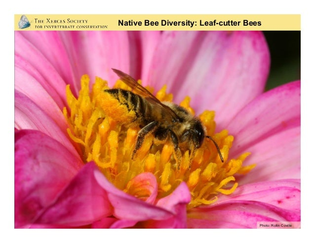 Photo: Mace Vaughan Native Bee Diversity: Leaf-cutter Bees