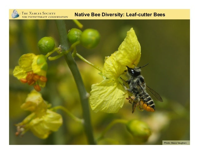 Photos: Mace Vaughan (Xerces Society) Native Bee Diversity: Mason Bees