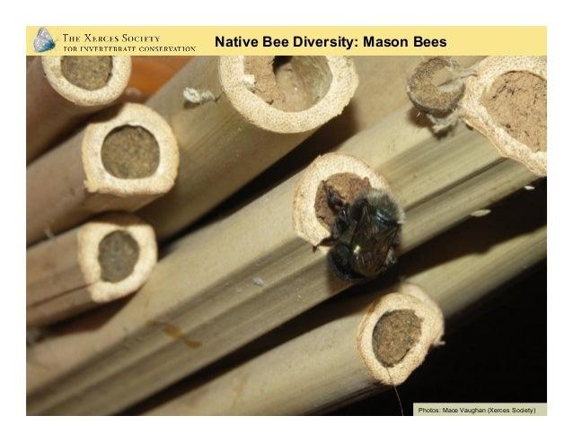 Native Bee Diversity: Carpenter Bees (big) Photo: Rollin Coville