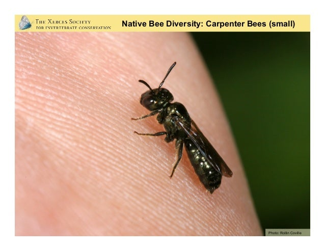 Native Bee Diversity: Striped Sweat Bees Photo: Mace Vaughan (Xerces Society)