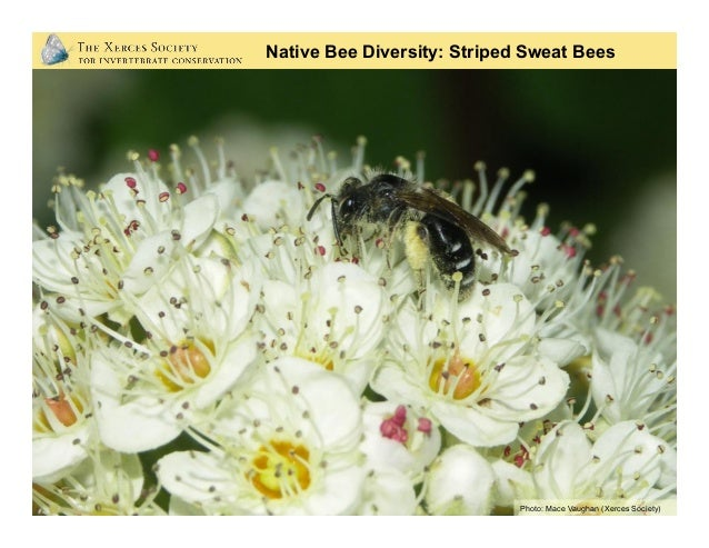 Native Bee Diversity: Green Sweat Bees Photo: Rollin Coville