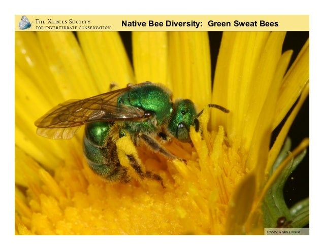 Native Bee Diversity: Green Striped Sweat Bees Photo: Rollin Coville
