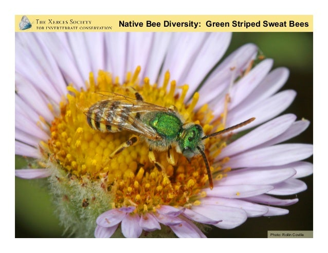 Native Bee Diversity: Miner Bees (Tickle Bees) Photo: Mace Vaughan (Xerces Society)