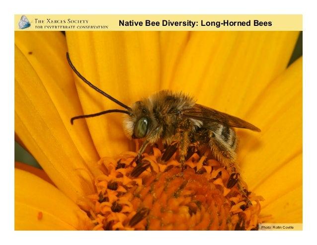 Native Bee Diversity: Sun Flower Bees Photo: Rollin Coville
