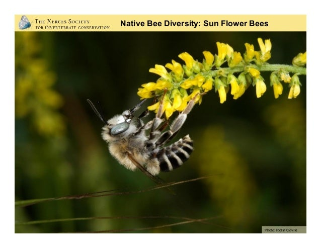 European honey bee is the principal crop pollinator. Disease, pests, and low honey prices have lead to: • 50% decline in ...