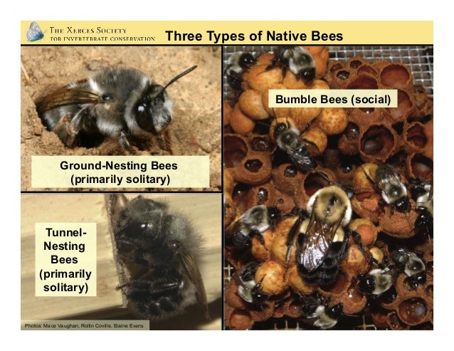 Photos: Dennis Briggs Life Cycle of a Solitary Bee Mining bee (Andrena sp.): a year in its underground nest as egg, larva,...