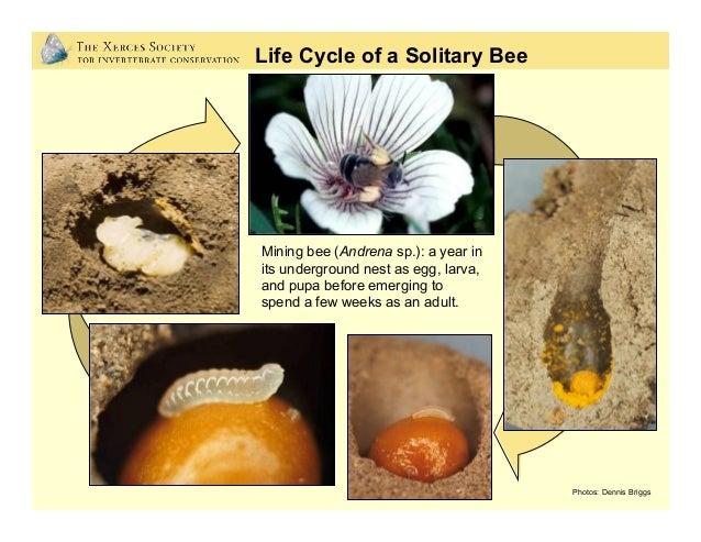 Photos: Eric Mader, Jim Cane, Matthew Shepherd, and Jennifer Hopwood Nearly 70% of native bee species nest underground • ...
