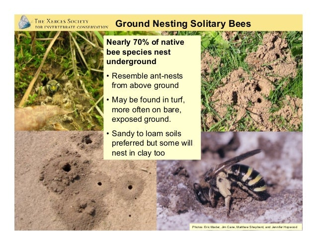 Photos: Betsy Betros, Rollin Coville, Dennis Briggs •Nests may be anywhere from several cm deep or up to a meter or more ...