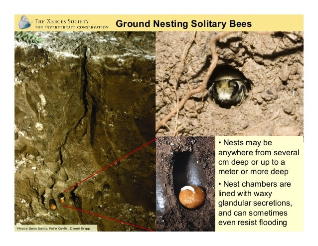 Sabin Elementary School: Portland, Oregon Photos: Mace Vaughan (Xerces Society) Ground-nesting bees need: • Access to bar...