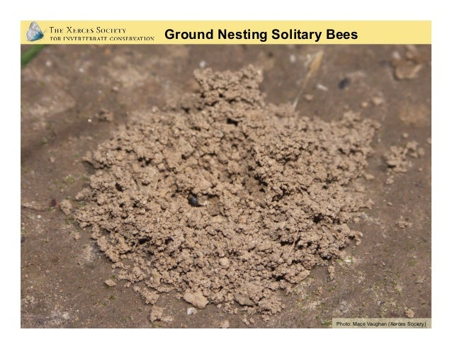 Photo: Mace Vaughan (Xerces Society) Ground Nesting Solitary Bees