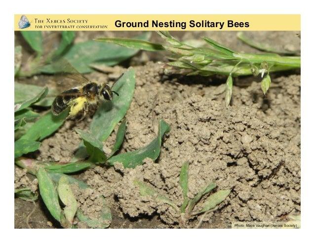 Photos: Mace Vaughan Illustration: Ken RumbaughPhotos: Mace Vaughan (Xerces Society) Ground Nesting Solitary Bees